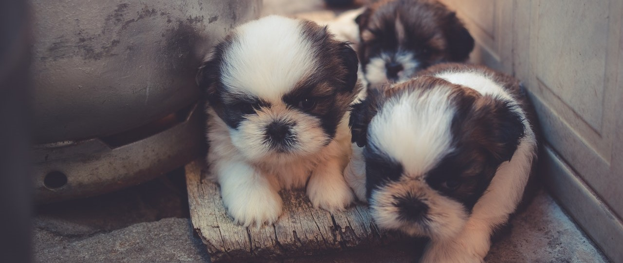 How to become a dog breeder UK