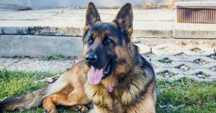 most protective dog breeds