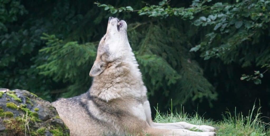 why do dogs howl at night