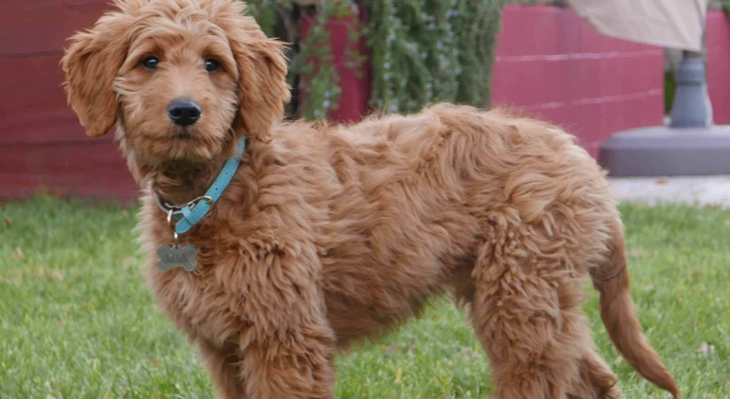 Goldendoodle Vs Labradoodle In Depth Comparison Dog Desires