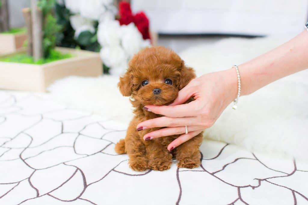teacup poodle petted