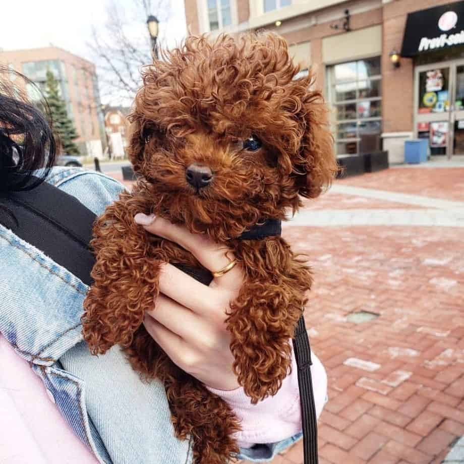teacup poodle in hands