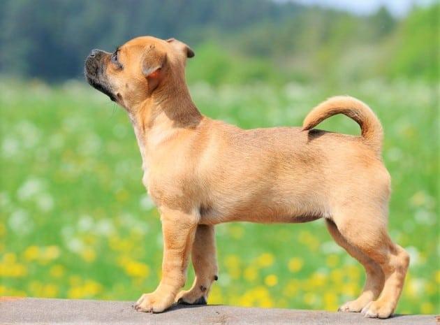 jug dog in field
